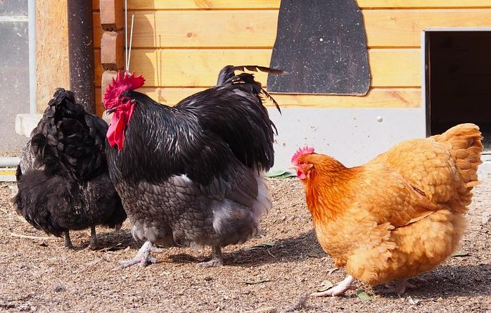Des poules des poules pour rduire les dchets des villes with des poules stunning des poules - Elever des poules en ville ...